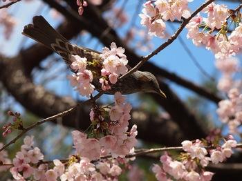 豊川 桜2.JPG