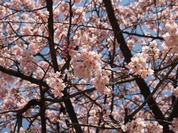 豊川 桜3.JPG
