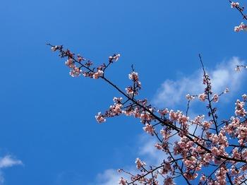 豊川 桜4.JPG